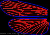Cryptochia pilosa, wings