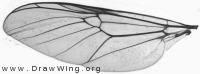 Stratiomyidae, wing