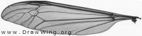 Tipulidae, wing