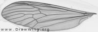 Trichocera, wing