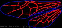 Cimbicidae, wings